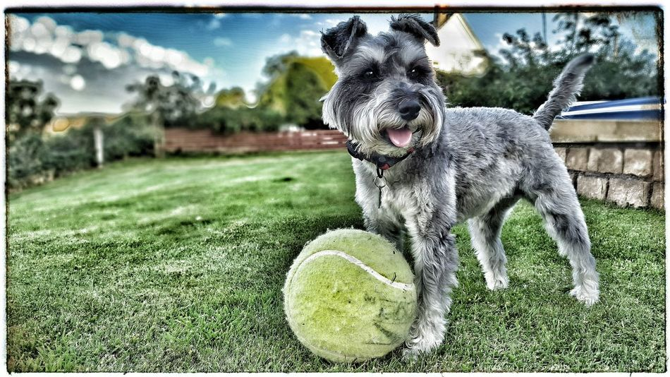 Minature Schnauzer HDR gone mad! One Animal Dog Tennis Ball Animal Themes Ball Pets No People Playing Grass Tree Outdoors Sky Day Mammal Schnauzer Schnauzerlove Schnauzers Schnauzerlife Minature Schnauzer HDR Hdr_Collection Hdr Edit HDR Collection Hdrphotography Mrtuppy