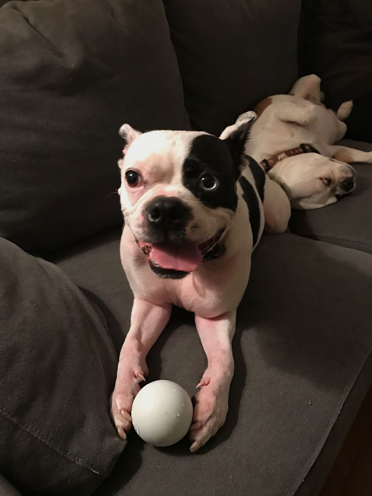 Enjoy The New Normal hanging out with friends - dogs with ball on sofa Looking At Camera Pets