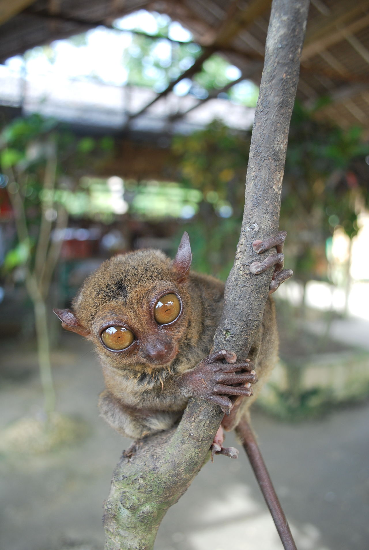 Tarsier Animal Animal Conservation Animal Themes Animals Animals In The Wild Close-up Day Domestic Animals Endangered  Endangered Animals Endangered Species Focus On Foreground Looking At Camera Mammal Nature No People One Animal Outdoors Portrait Tarsier Tree