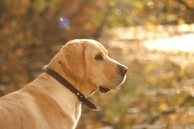 Am Schloß with My Dog American Gointer Dog Dog❤ Golden Retriever Mix Streetdog From Türkiye 'Nice' find me on the Beach in Side/Kumköy, now life in Berlin :) Hybrid Dog EyeEm Animal Lover