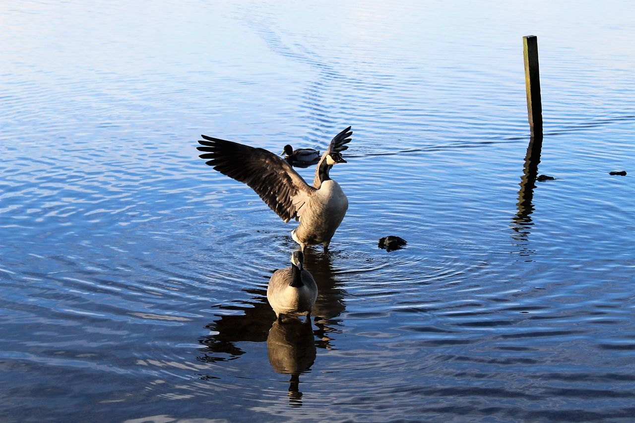 Animal Themes Animal Wildlife Animals In The Wild Beauty In Nature Bird Bird Photography Birds Day Flap Flapping Lake Lake View Nature No People Outdoors Spread Wings Water
