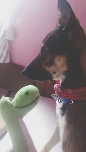 Dog Domestic Animals Sao Paulo - Brazil Polenta Tbt💕