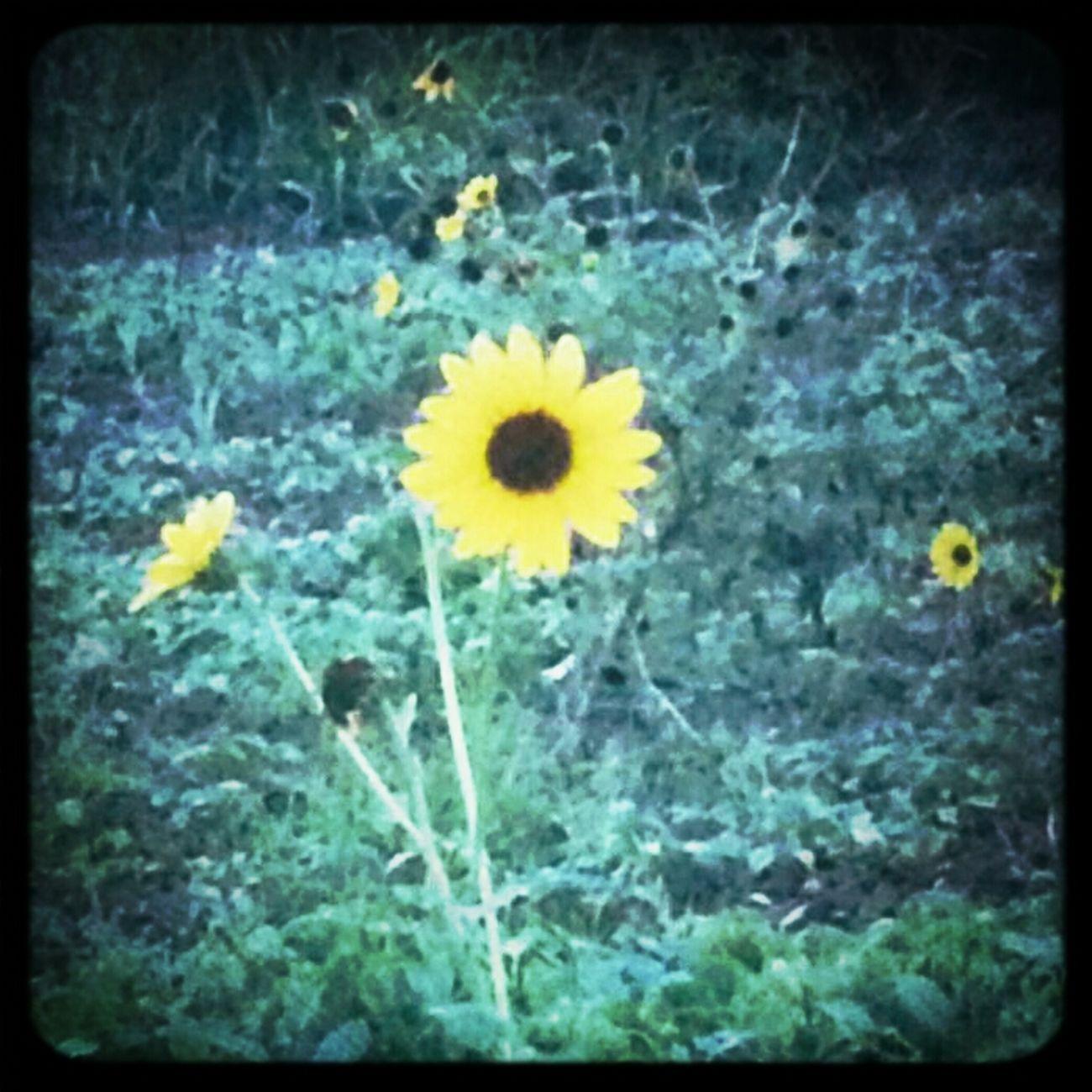 found a sunflower