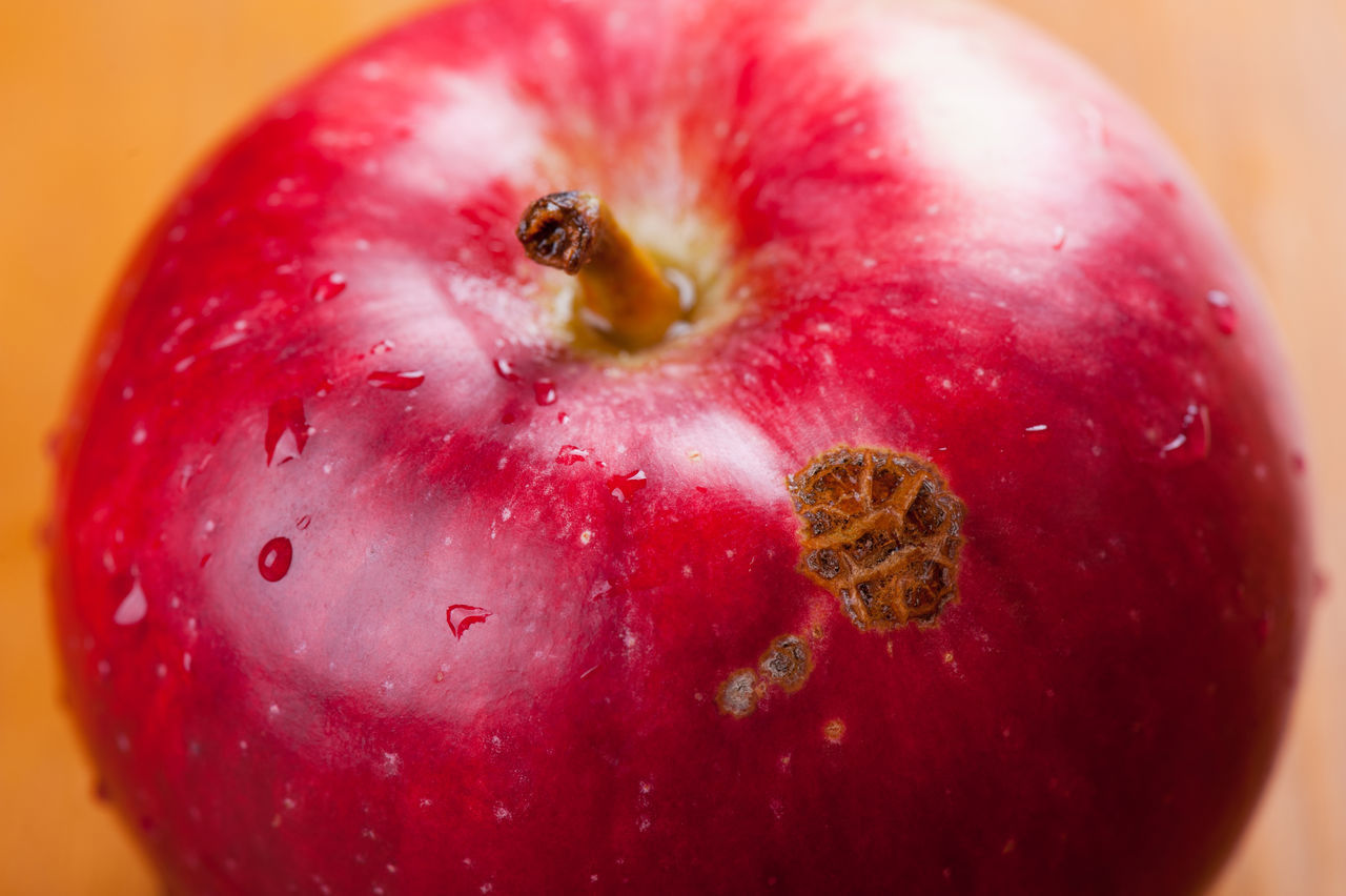 Defect of fruit disease apple scab lesions on red peel surface, spot on single apple fruit. Nobody, studio shot, horizontal orientation. Apple Apple - Fruit Bad Blotch Close-up Defect Defected Disease Diseased Food Food And Drink Freshness Fruit Infected Lesion No People Peel Red Scab Spoiled Spot