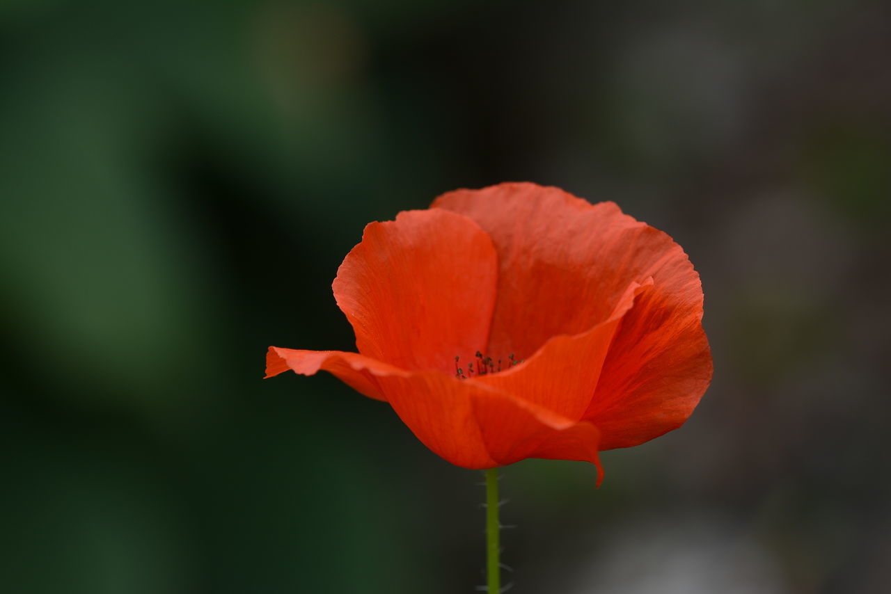 flower, nature, petal, beauty in nature, growth, fragility, plant, no people, flower head, blooming, freshness, outdoors, red, close-up, poppy, hibiscus, day