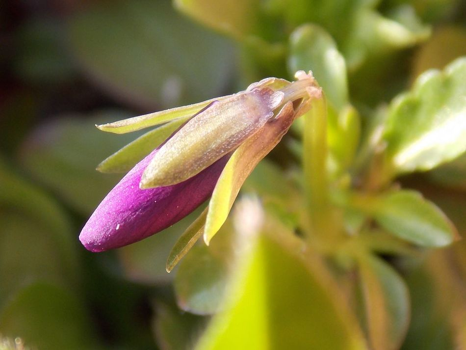 Flowers, Nature And Beauty Flowers,Plants & Garden Bud Viola Flowers Flower Buds Naturelovers. Nature_collection Pink Flower Macro Photography