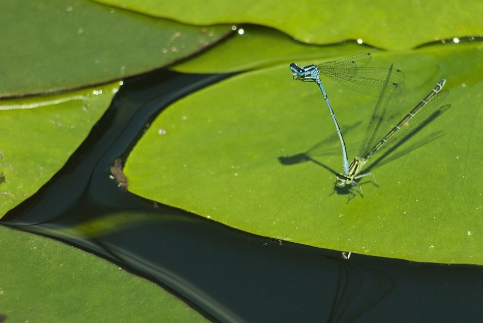 Dragonflys mating Green Color Leaf Close-up Insect Nature Dragonfly Dragonflies Dragonfly💛 Dragonfly Mating Dragonfly On Plant Animal Themes Lake Water Green Color Spread Wings Beauty In Nature Beauty In Nature No People Backgrounds