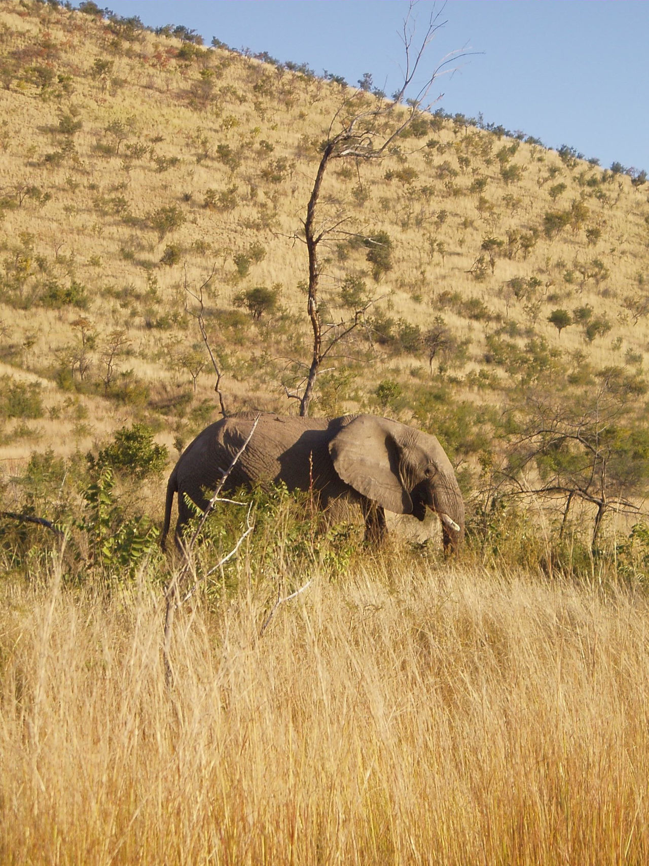 African Elephant Animal Themes Animal Wildlife Animals In The Wild Beauty In Nature Clear Sky Day Field Grass Landscape Mammal Nature No People One Animal Outdoors Safari Animals Sky South Africa Tree Tusk The Great Outdoors - 2017 EyeEm Awards
