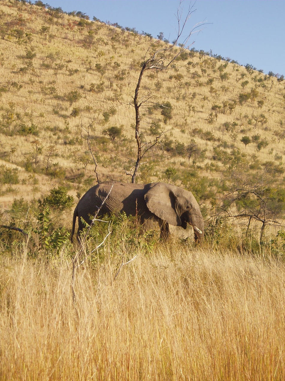 African Elephant Animal Themes Animal Wildlife Animals In The Wild Beauty In Nature Clear Sky Day Field Grass Landscape Mammal Nature No People One Animal Outdoors Safari Animals Sky South Africa Tree Tusk