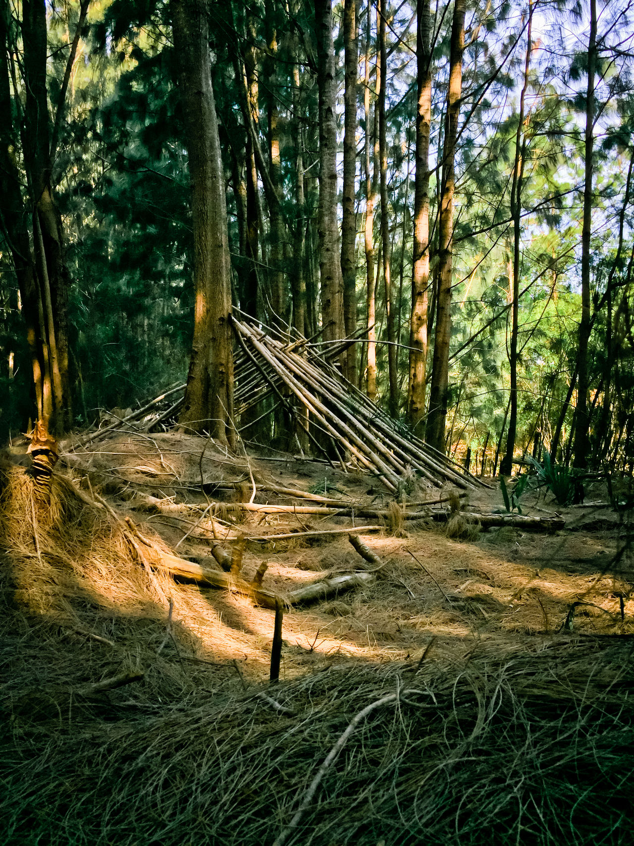 Primative shelter in australian pines Australian Pine Tree Beauty In Nature Day Forest Growth Nature No People Outdoors Pine Needles Pine Tree Pine Trees Against The Sky Pine Woodland Primative Shelter Tranquil Scene Tranquility Tree Tree Trunk