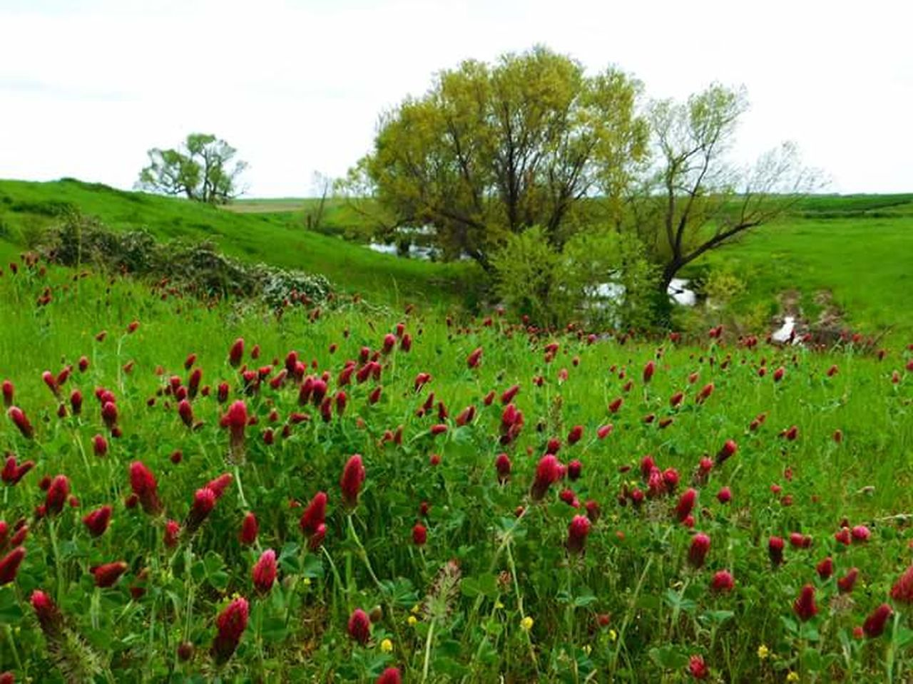 Red Clover Nature Photography Nature_perfection Nature_collection Red Flowers In The Field Red Flowersfl Tree_collection  Country Fields Flowers, Nature And Beauty