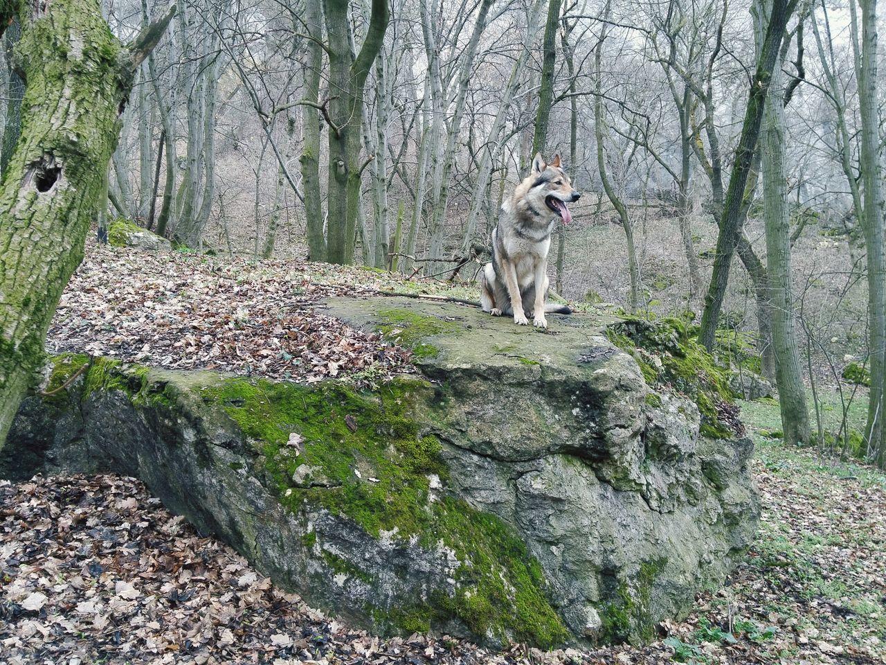 Garon Dog Czechoslovakianwolfdog Nature Animals Wolf Wolfdog Czechwolfdog Taken On Mobile Device