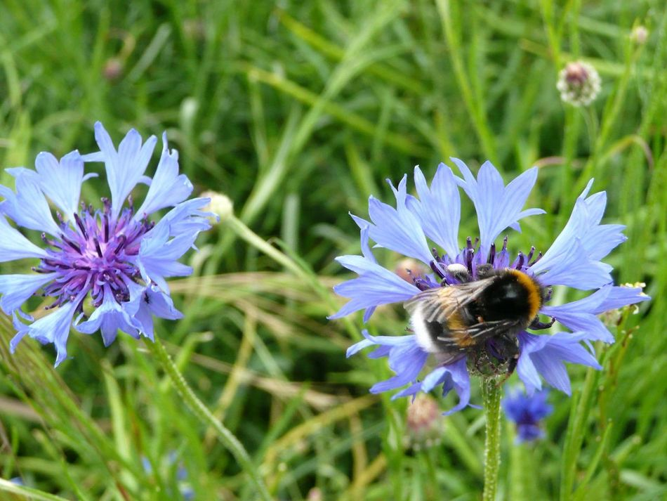 Bachelor Buttons Garden Cornflower BlueBottle Purple Pollination Plant No People Petal Outdoors One Animal Nature Insect Growth Focus On Foreground Flower Head Close-up Beauty In Nature Blooming Bee Animal Wildlife