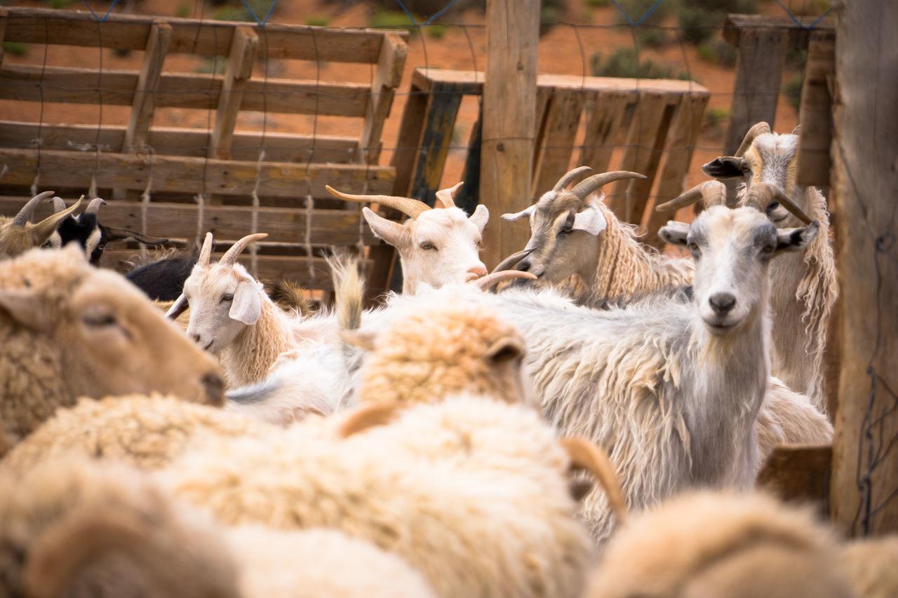 Beautiful stock photos of goat, Animal Pen, Animal Themes, Day, Domestic Animals