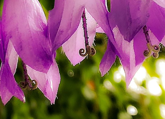 'PINKBluebells' Pink Color Flower No People Nature Plant Day Purple Outdoors Beauty In Nature Fragility Close-up Hanging Freshness Flower Head Urban Flower Blooming Nature Growth Oslo 2017 Summertime Fave Flower KJ✨