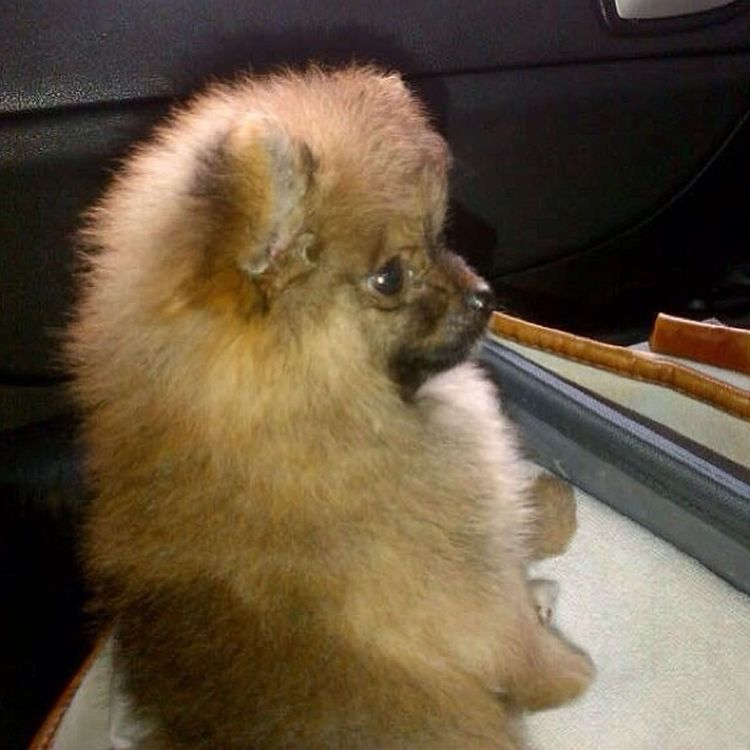 Last pic I promise' before our daily commute the taxi..he sits like a fat kid ❤❤Minipom Pompom Pomeranian Cute puppy