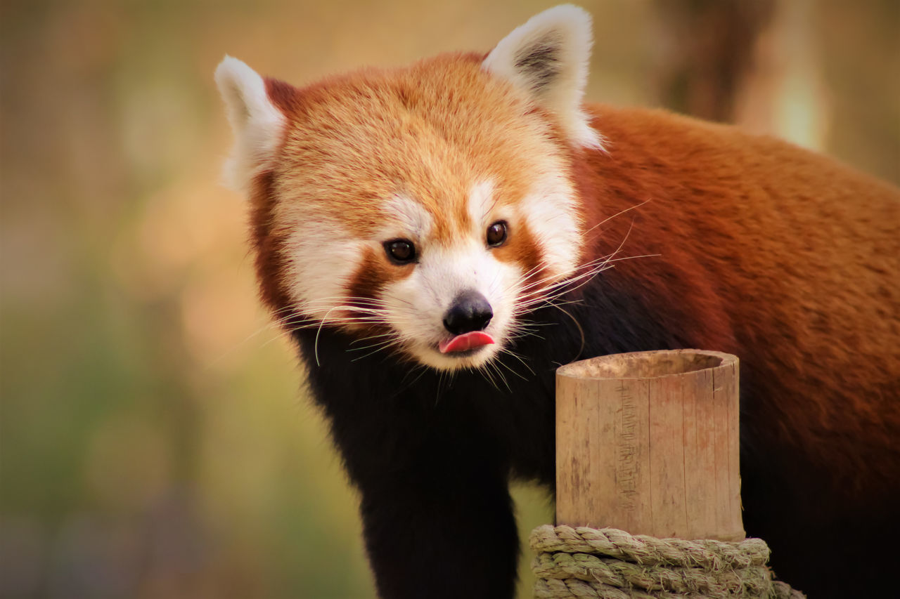 Animal Body Part Animal Themes Animal Wildlife Animals In The Wild Close-up Day Mammal Nature No People One Animal Outdoors Portrait Red Panda