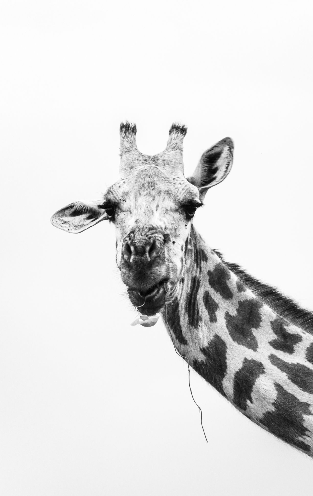 Beautiful stock photos of animals, animal themes, one animal, low angle view, giraffe