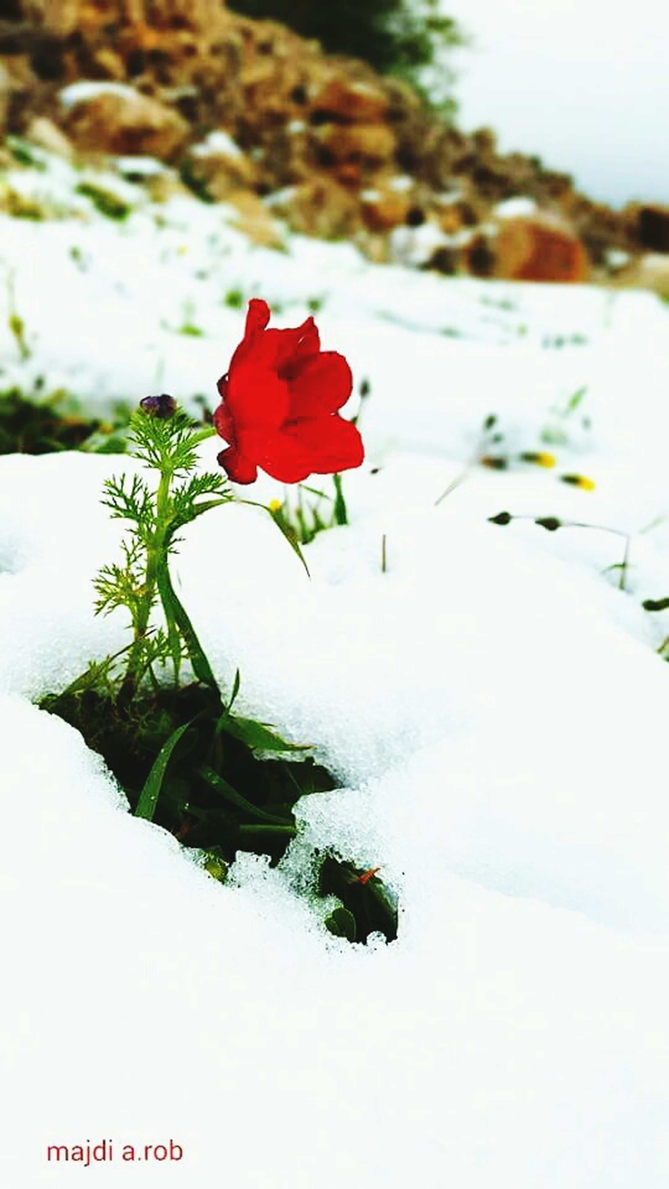 flower, focus on foreground, red, petal, fragility, beauty in nature, close-up, growth, nature, plant, white color, flower head, freshness, blooming, day, outdoors, no people, selective focus, leaf, tranquility