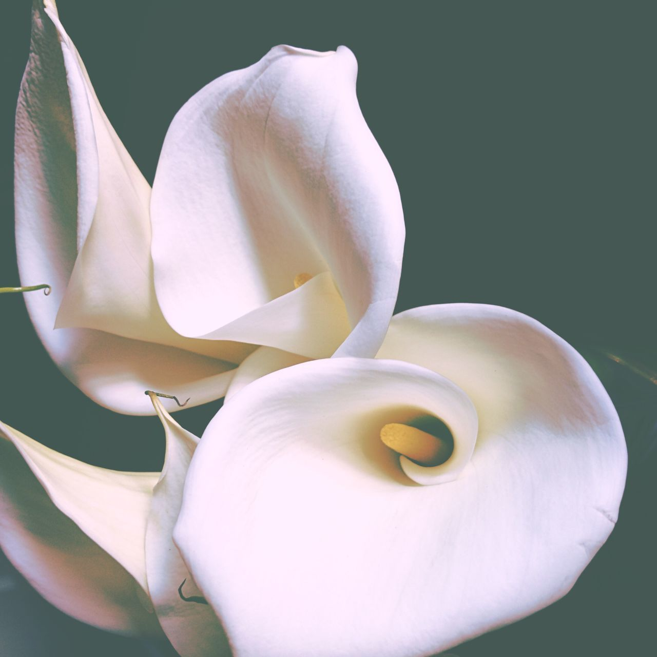 Flower Petal Beauty In Nature Fragility Nature Flower Head Freshness Growth Close-up No People Plant Outdoors Day Calla Lily