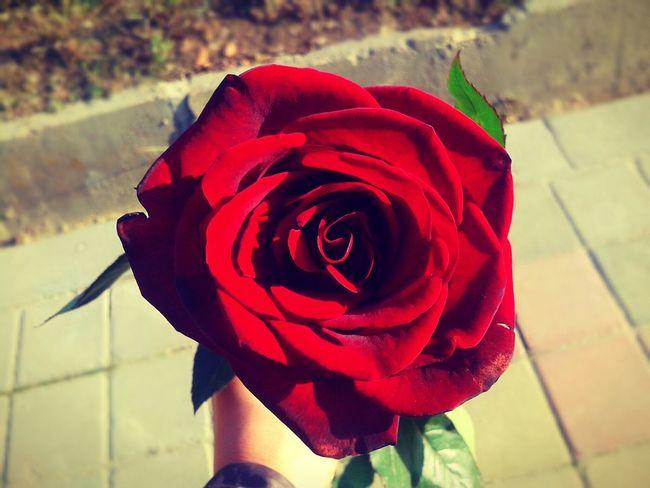 beautiful rose Redrose 🌷🌷🌷 Romanticday Shotstoryaboutmyfriend