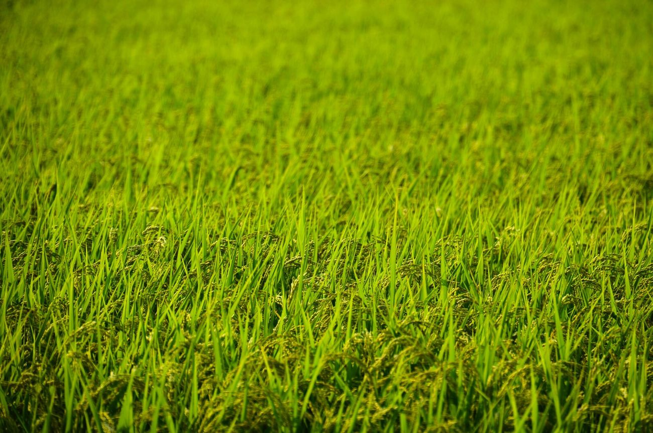 Field Rice Field Japan Nature Outdoors Nikon D7000 Shimane Rice Summer Summertime Grass Green Color
