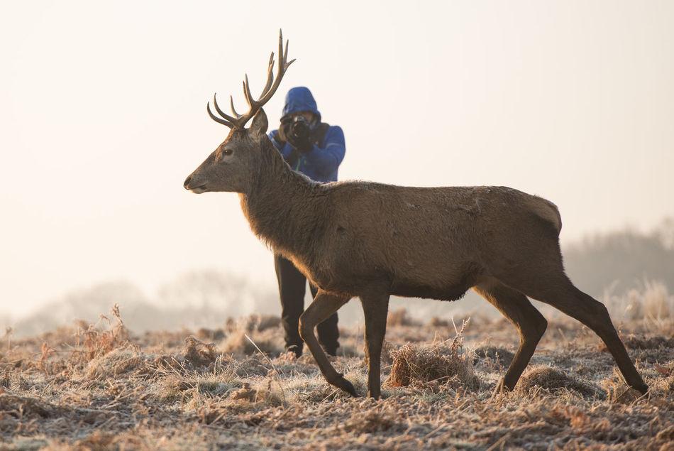 Beautiful stock photos of hirsch, one animal, animal themes, field, domestic animals
