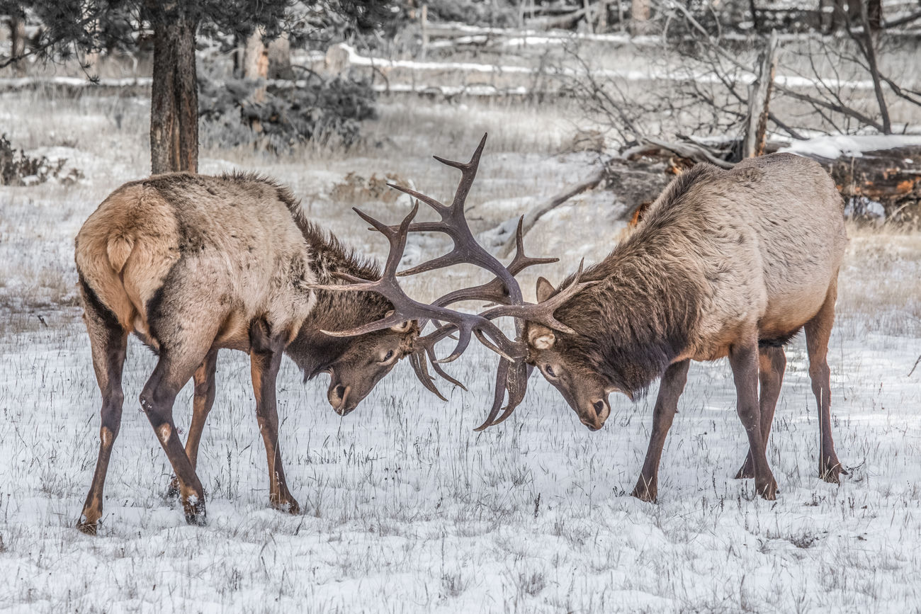 Two large Wapati or Elk (Cervus canadensis) in a fighting headlock with their antlers. Not quite as tall as Moose, the Elk in Jasper are protected from hunting and can be found up to 10 ft. (3 m) from nose to tail with weights up to 450kg (990 lbs). Jasper National Park, Alberta, Canada. Love Life, Love Photography Alberta Alberta Canada Animal Animal Wildlife Animals Animals In The Wild Antlers Canada Cervus Canadensis Cold Temperature Elk Ełk Fighting Headlock Jasper Jasper National Park Mammal National Park Snow Wapati Wapiti Wildlife Winter Winter The Great Outdoors