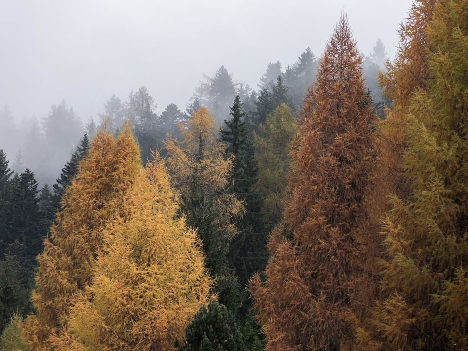 colorful larch forest Autumn Beauty In Nature Colorful Fall Colors Fog Forest Landscape Larch Tree Nature No People Outdoors Tree Wood Yellow