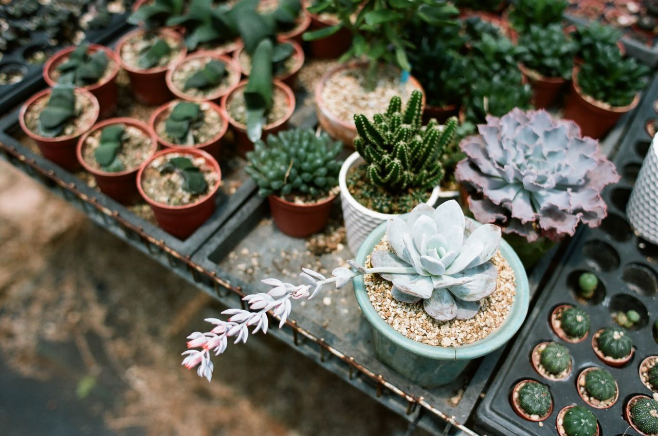 Close-up Day Film Photography Filmisnotdead Flower Fragility Freshness Growth High Angle View Nature No People Outdoors Plant Succulent Plant Succulents
