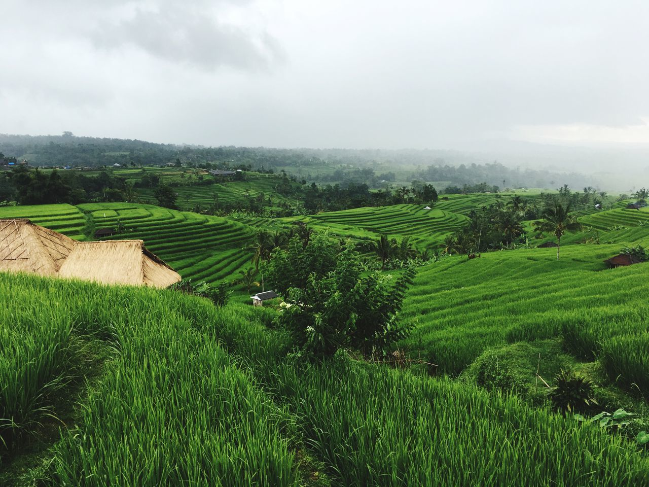 Rice field from Jatiluwih