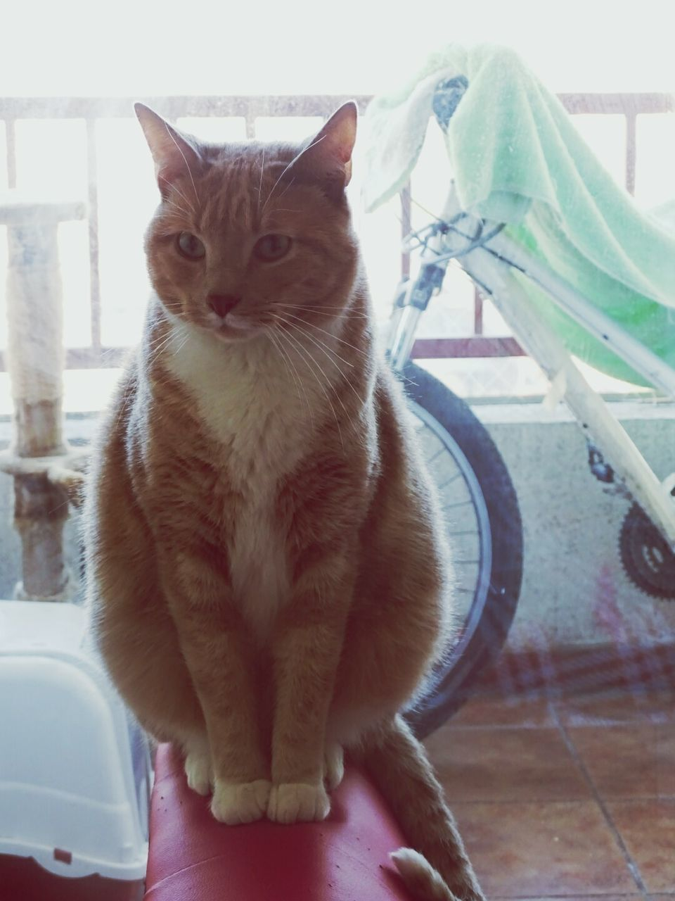 domestic cat, pets, domestic animals, feline, one animal, animal themes, mammal, cat, sitting, indoors, portrait, looking at camera, relaxation, no people, day, ginger cat, close-up