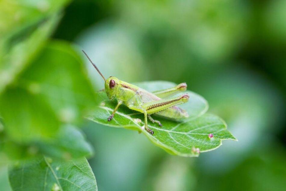 Being green Colours Green EyeEm Best Shots Canonphotography Macro Photography EyeEm Best Shots - Nature Grasshopper Showcase:July Colour Of Life