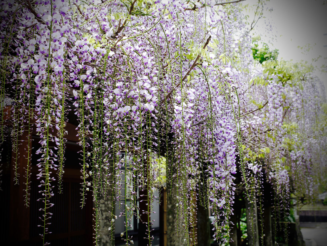 "Nagasaki Kaido : Koga, ""Fujitana"" ( signify : a wisteria trellis ) Google Map point 32.808787, 129.967062 / GX1 prime lens set de Good evening. 50mm F/5.6 Blossom Flower Nagasaki Historic Highway On The Road. On The Street Corner Purple Soft Grunge Streetphoto_color Walking Around Wisteria Trellis 長崎街道(Nagasaki Kaidō)"