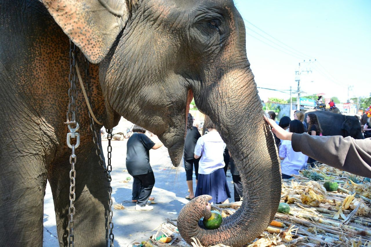 elephant, real people, mammal, men, outdoors, day, food, animal trunk, people