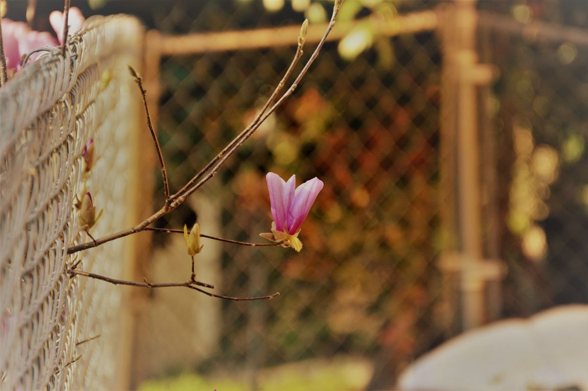 Beauty Finds a Way Beauty In Nature Beauty In Nature Flower Flower Head Fragility Nature Outdoors Petal Saucer Magnolia