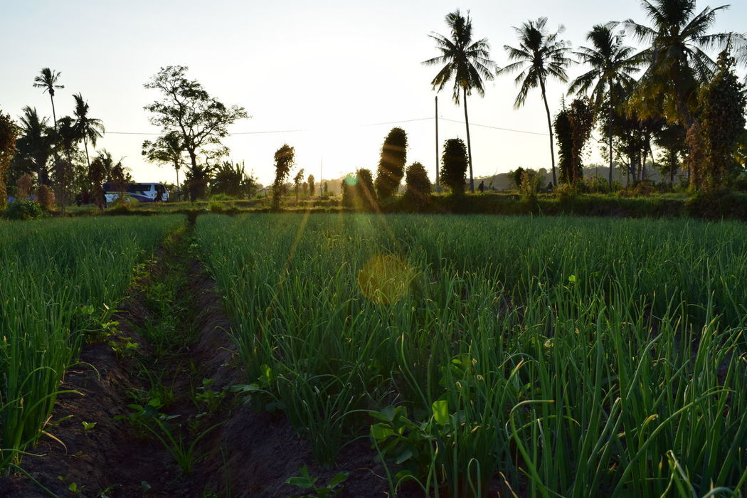 Sunrise in Desa Senayan, Lombok, Indonesia. Growth Agriculture Crop  Tree Rural Scene Tranquility Farm Nature Sky Plant No People Field Scenics Tranquil Scene Outdoors Beauty In Nature Sunrise Onion Plant Day Travel Lombok Indonesia Morning Light