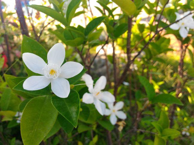 Whiteflower My First Pic Of A Flower Eyeem Philippines EyeEm Hana
