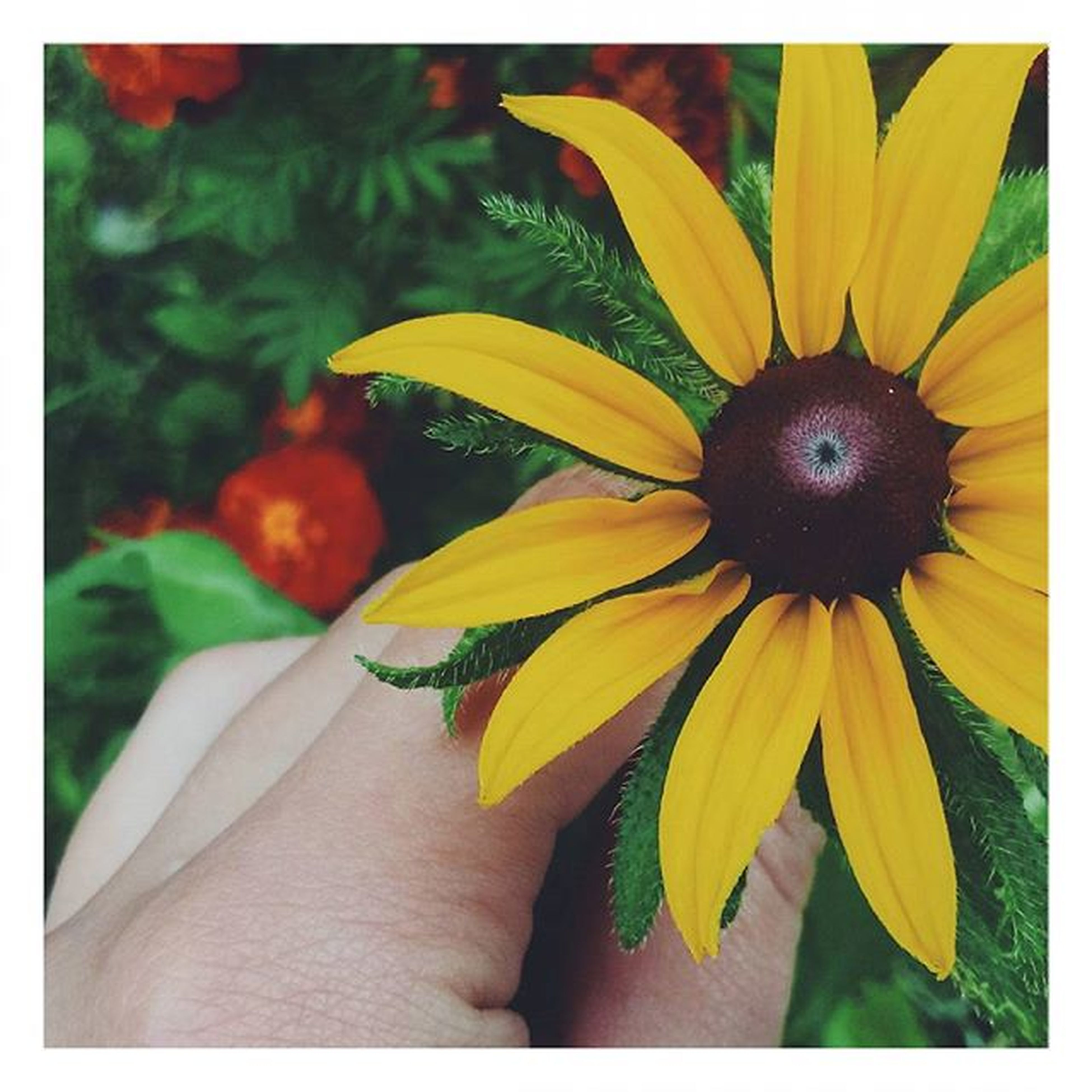 transfer print, person, auto post production filter, flower, yellow, freshness, holding, part of, cropped, close-up, fragility, flower head, petal, unrecognizable person, human finger, personal perspective, lifestyles