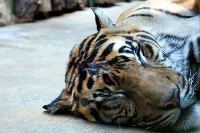 Kitty Tiger Zoo Relaxing