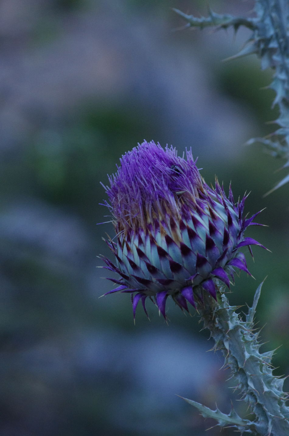 Spikey Attitude Weed Pretty Weed Vibrant Colors Painful To Touch Deep Purple Dangerous Walking Around The Countryside Up In The Moutains of El Torcal Malaga SPAIN Watch Out Beuty In Nature Thistle Color Palette