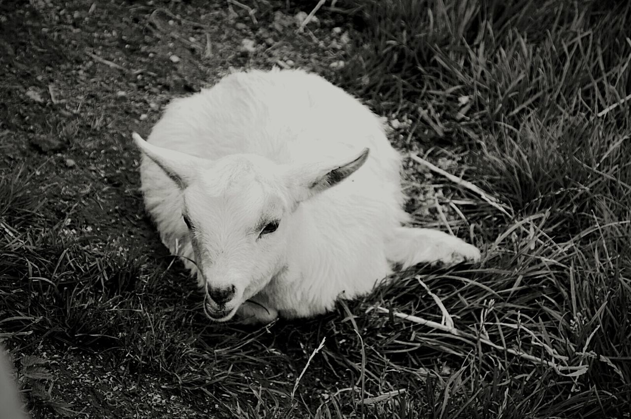 Billy The Kid Goat Just Having A Minute Billy Says Time To Rest.