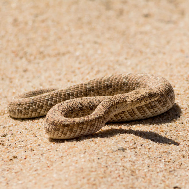 Adder Adders Africa African Animal Animal Portrait Animals Arid Climate Close-up Day EyeEm Nature Lover Little Namibia Namibian Nature No People Portrait Puff Puff Adder Sand Snake Snakes Wild Wildlife Wildlife & Nature