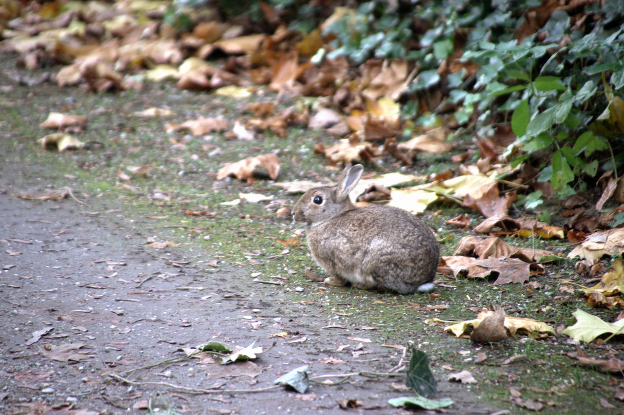 Roger rabbit Animal Themes Animal Wildlife Animals In The Wild Beauty In Nature Close-up Day EyeEm Nature Lover Hello World Mammal Nature Nature On Your Doorstep Nature_collection Naturelovers No People One Animal Outdoors Rabbit Rabbit ❤️ Taking Photos Walk Walking Around