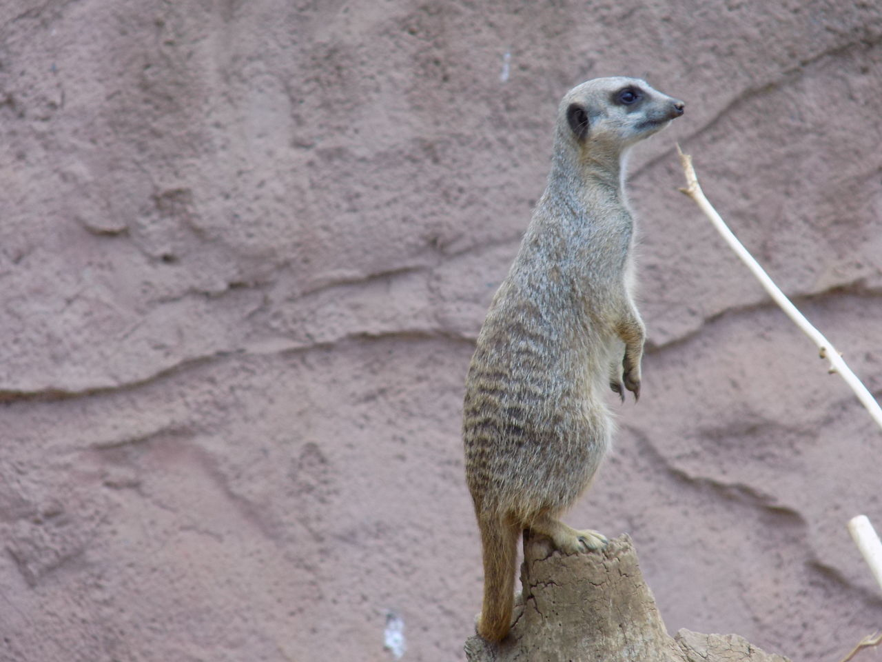 meerkat, one animal, animal themes, animals in the wild, animal wildlife, day, mammal, no people, outdoors, standing, sitting, nature, close-up