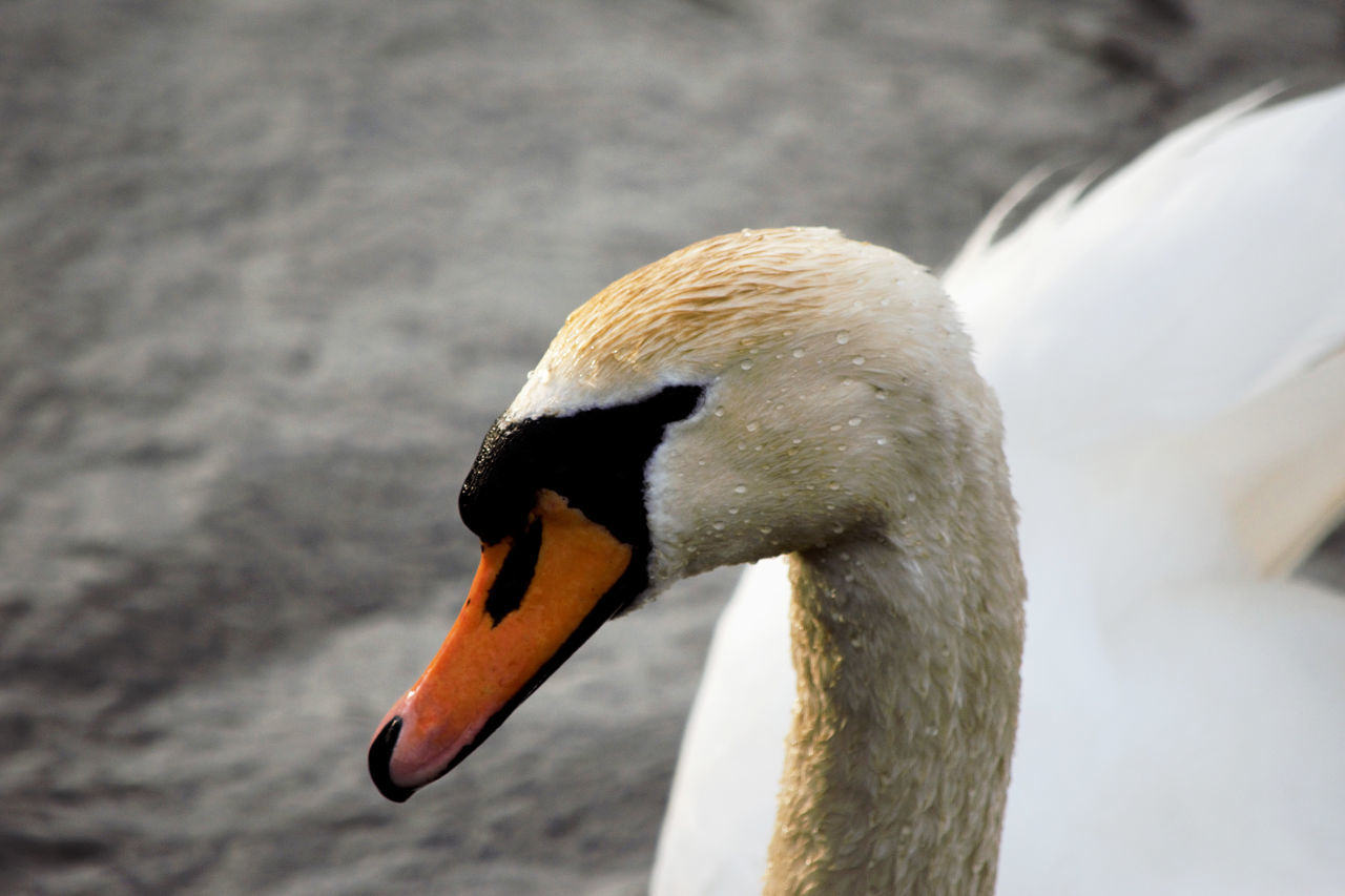 animals in the wild, one animal, bird, animal themes, beak, animal wildlife, focus on foreground, water bird, no people, swan, close-up, day, nature, lake, outdoors, water, swimming