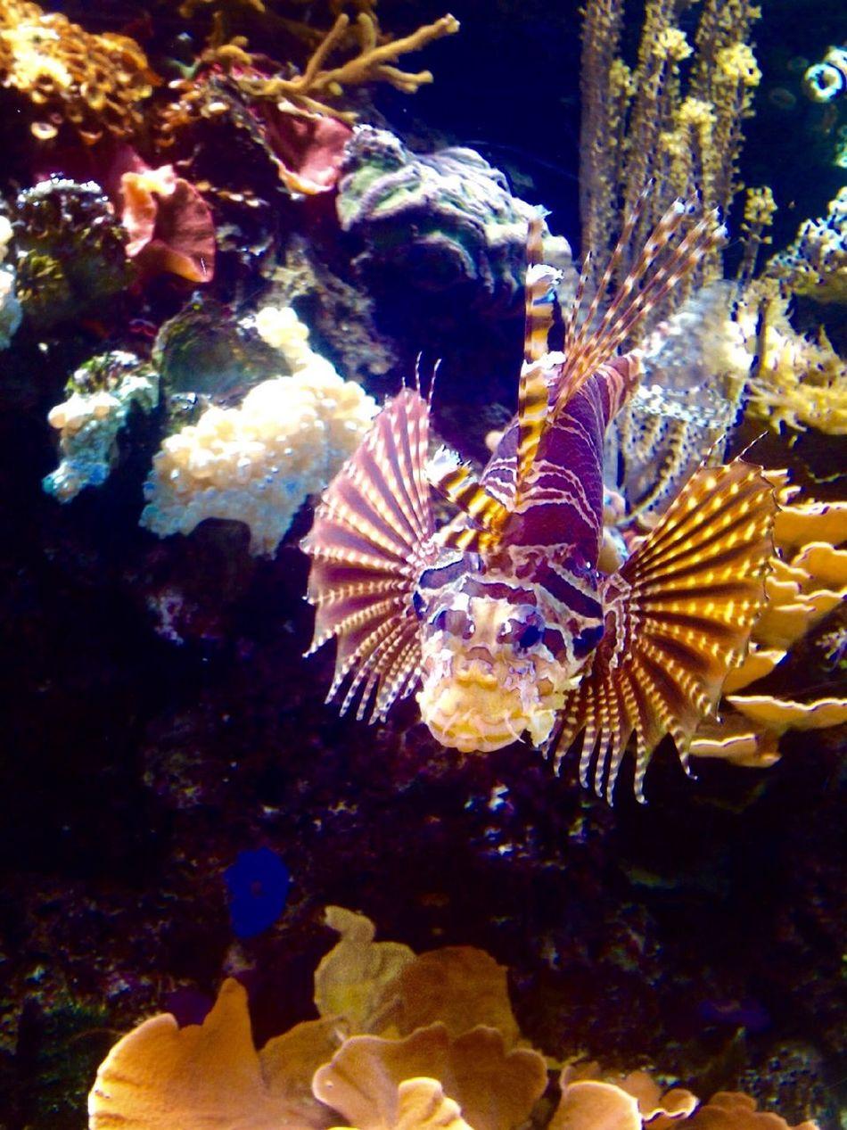 Red Lionfish Exotic Fish Exotic Animals Tadaa Community Tadaa EyeEm Animal Lover Fish Corals Aquaristik ???