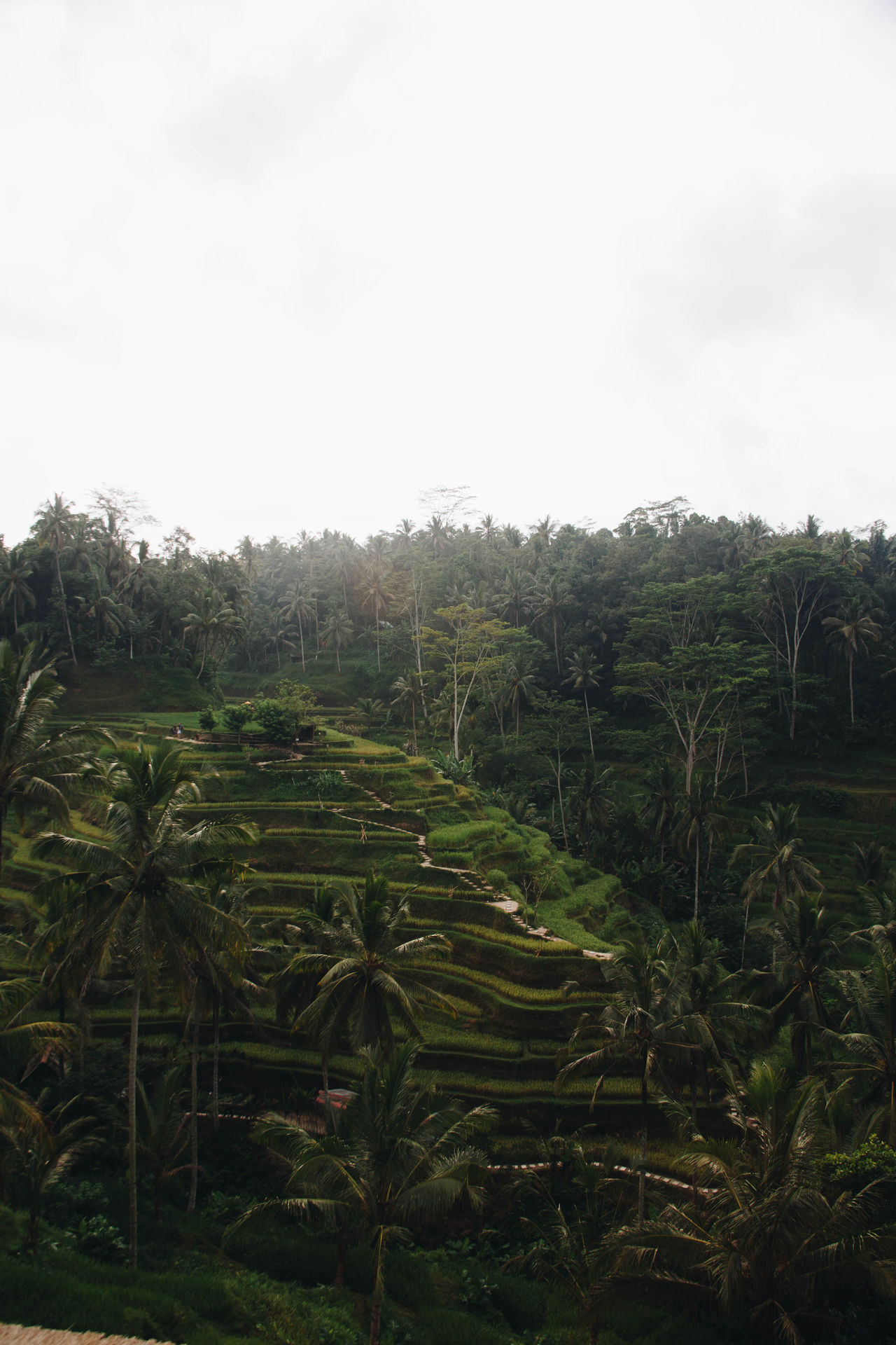 Agriculture Beauty In Nature Day Farm Field Green Color Growth Landscape Nature No People Outdoors Rice Paddy Rural Scene Scenics Sky Terraced Field Tranquil Scene Tranquility Tree
