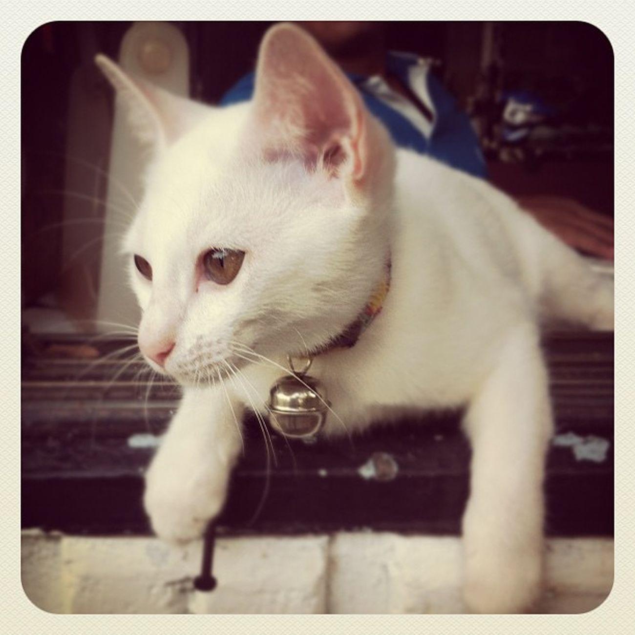 ? น่ารักจุงเบย แมว เหมียว ข้าว น่ารัก catkittywhitecute