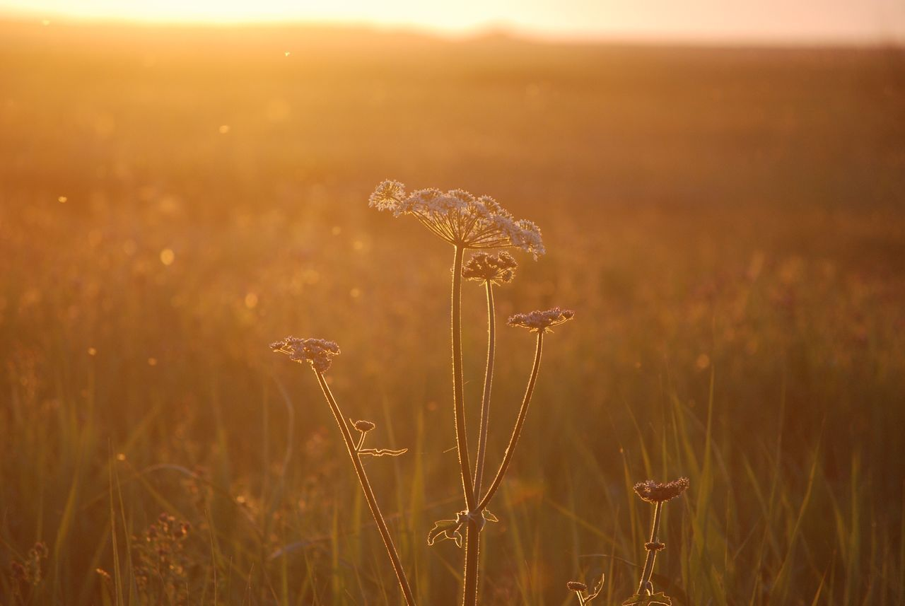 Nature Field Growth Beauty In Nature Plant No People Outdoors Close-up Tranquility Rural Scene Agriculture Sunset Tranquil Scene Grass Water Day Freshness Alexanders